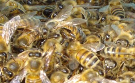 Tajemnice kosmetyków: jad pszczeli