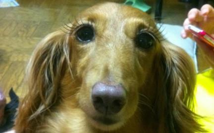 W oparach absurdu: sztuczne rzęsy dla psów